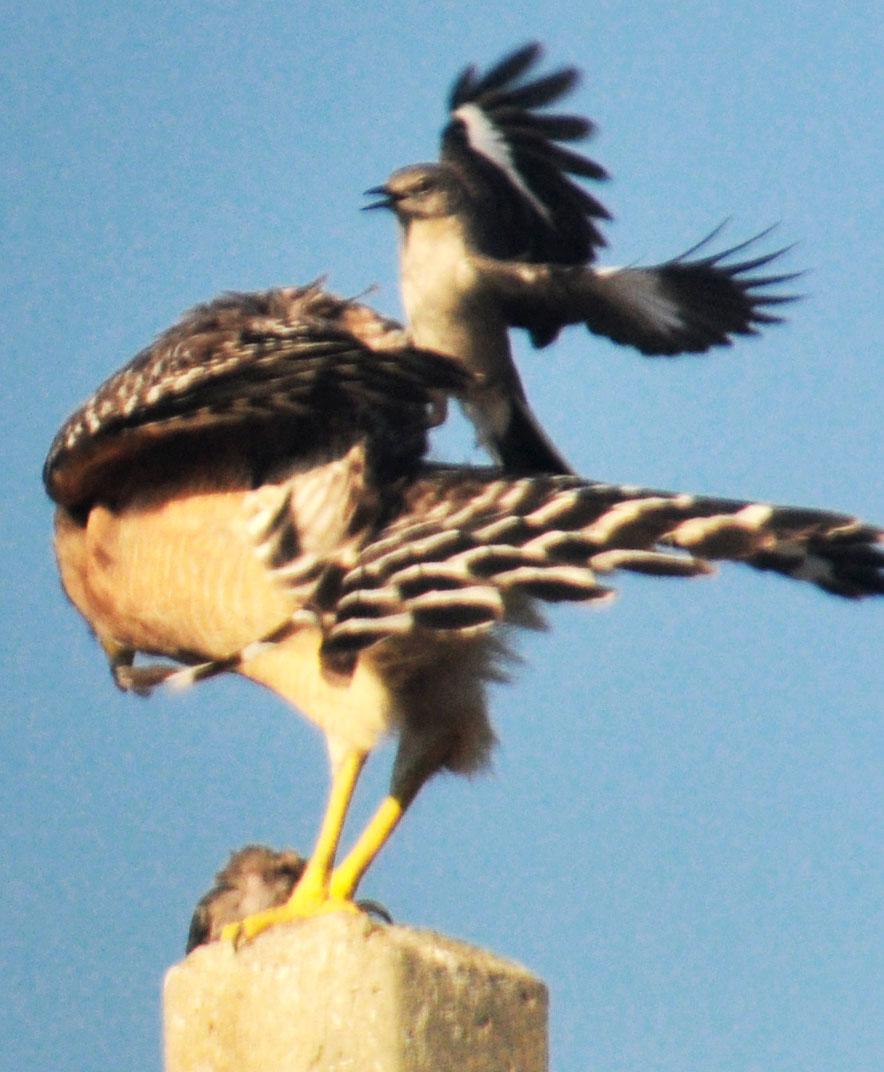 Mockingbird Attacking Hawk