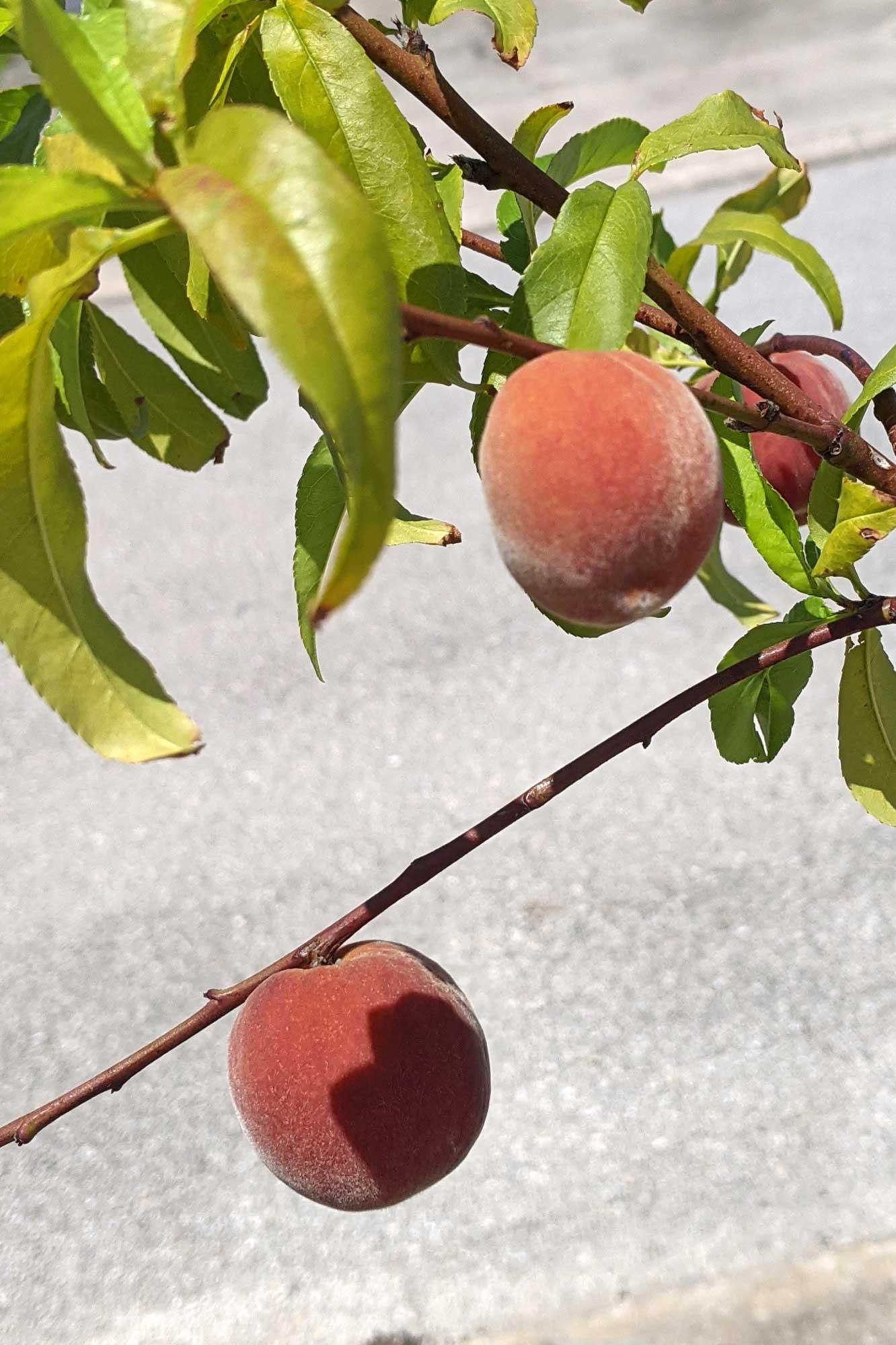 Flordaglo Peaches, April 27, 2021