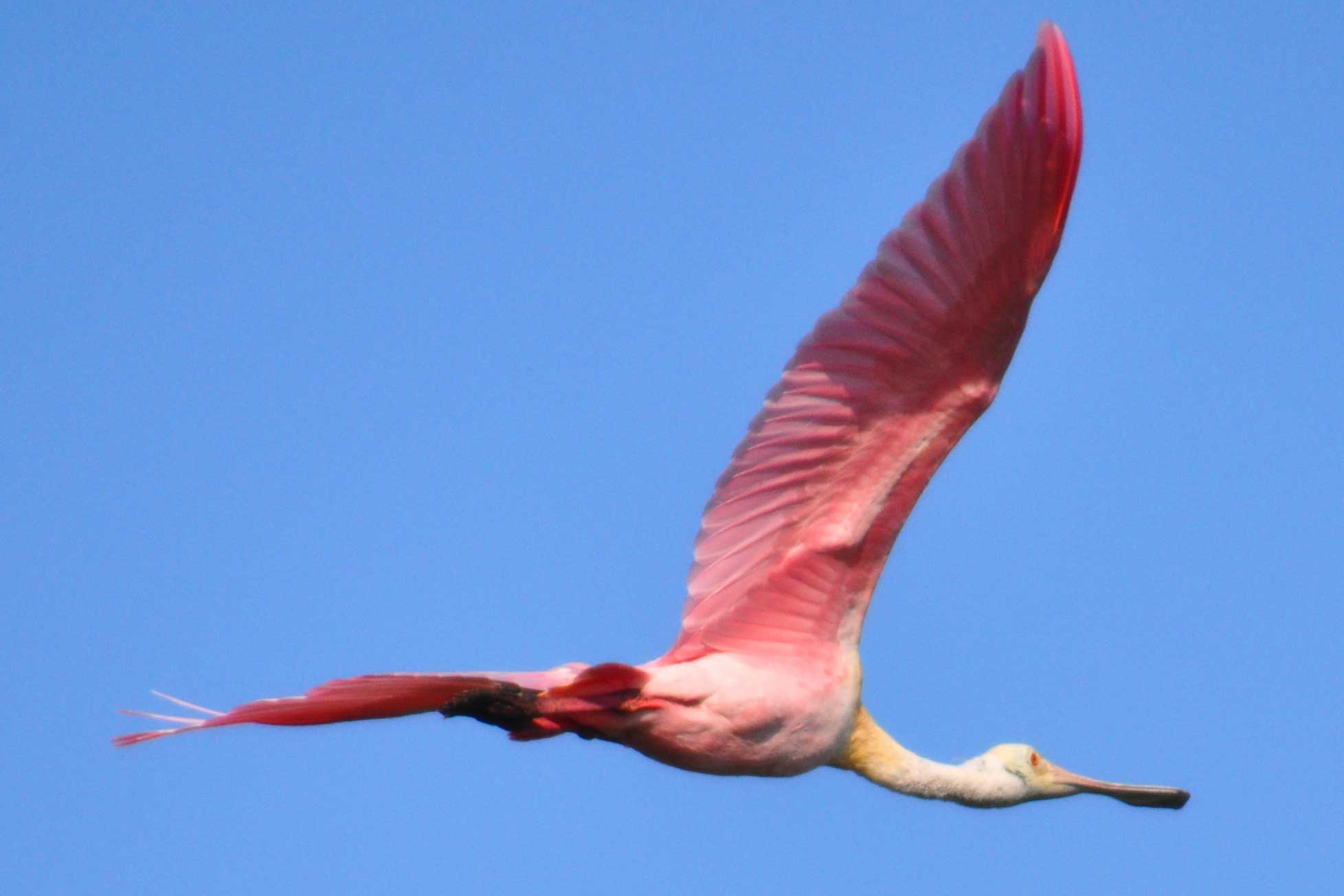 Flying Pink Bird