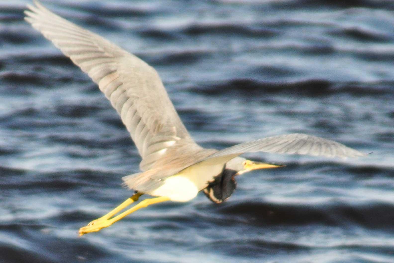 Flying Gray Bird