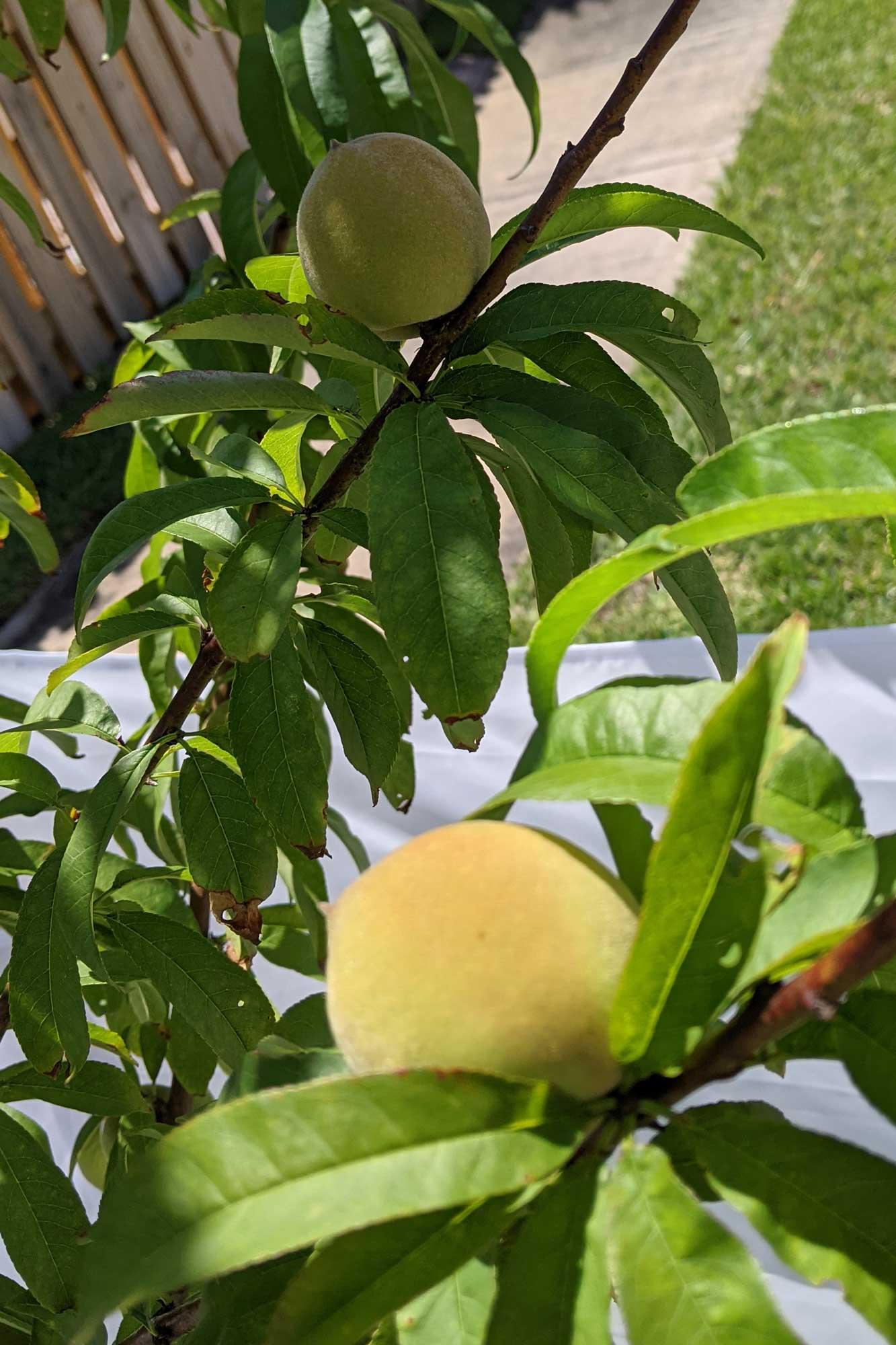 Tropic Snow Peach, April 27, 2021