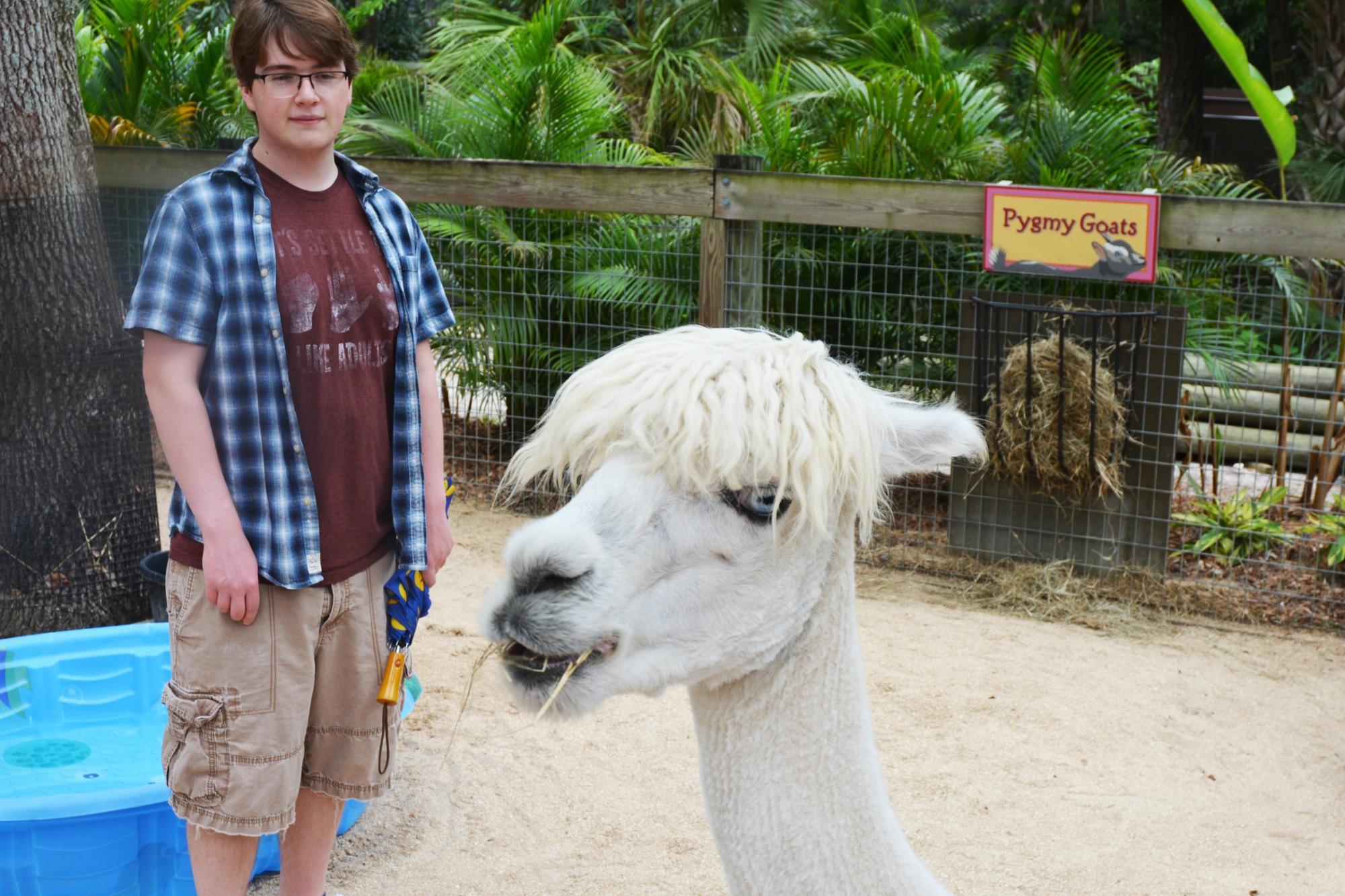 Alpaca in the Petting Zoo