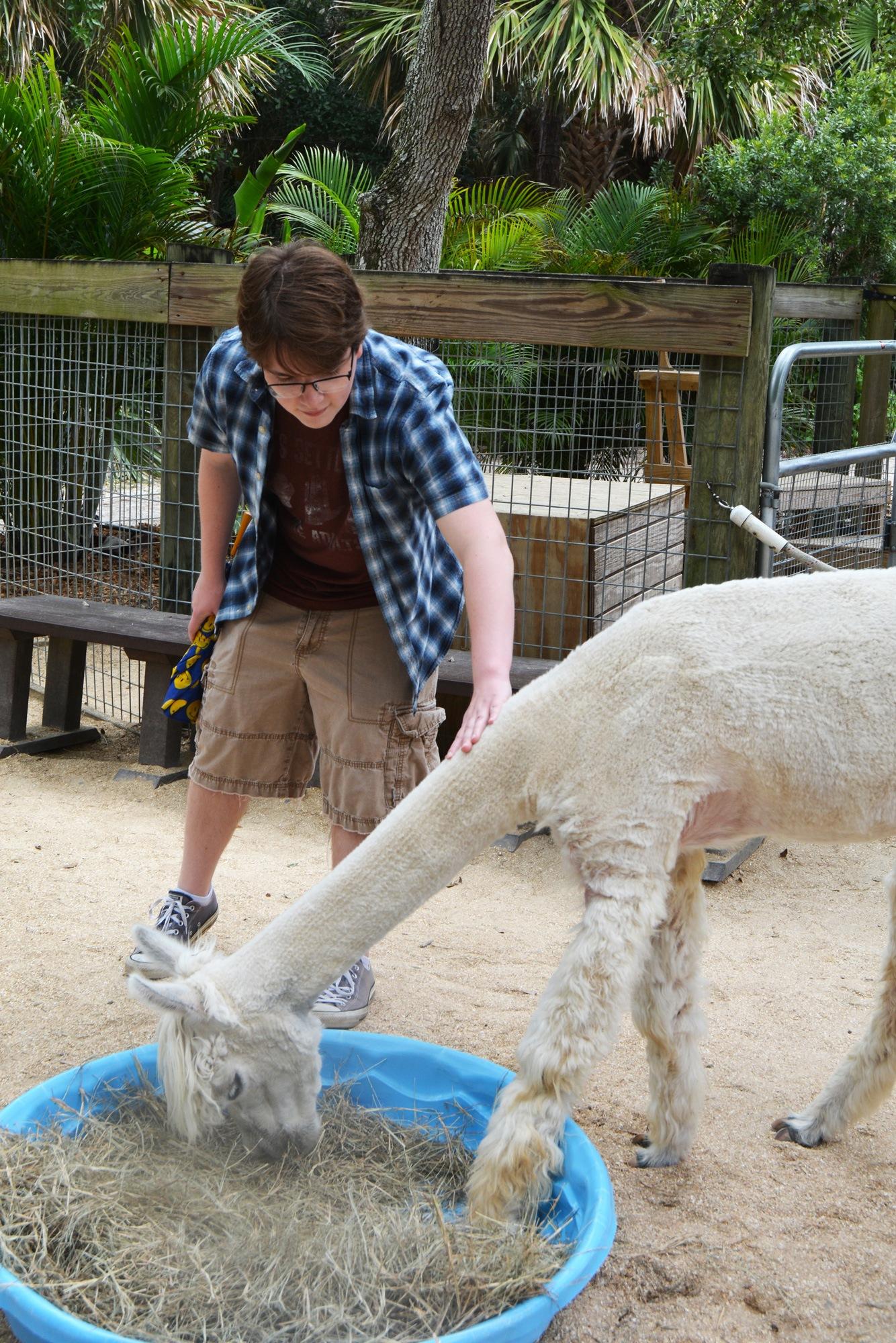 Petting an Alpaca