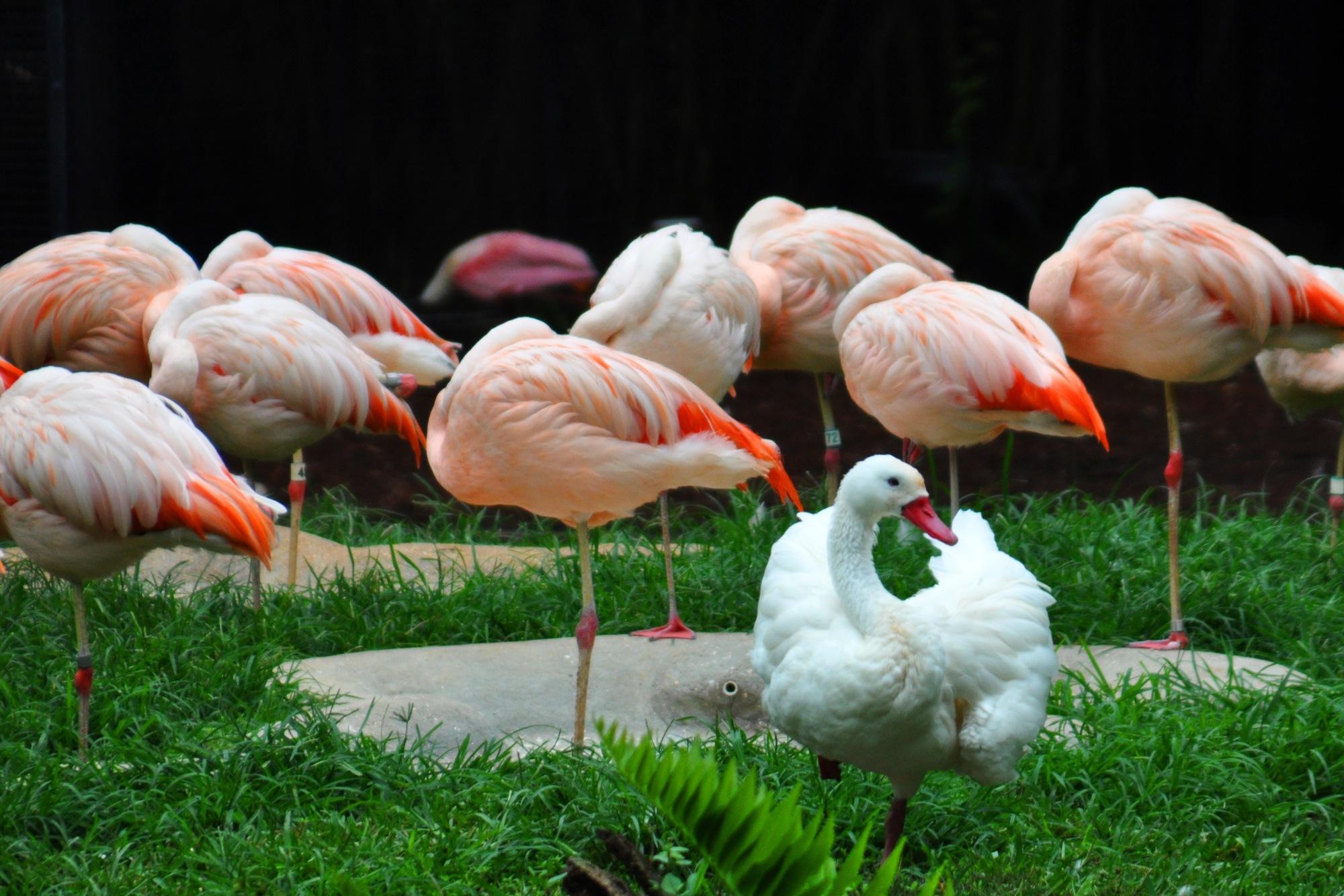 Duck Pretending to be a Flamingo